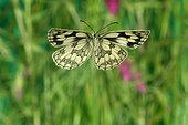 Marbled White in flight in June France