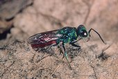 Common ruby-tailed wasp going on sand