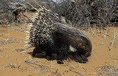 Porcupine going on the Red Dunes of Kalahari