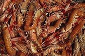 Crevettes et langoustines pêchées par un chalutier France