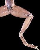 Musculature de la patte de Grenouille ; anatomie. musculature