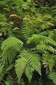 Polystichum male fern in underwood in the Vosges