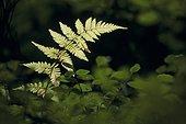 Leaf of Polystichum male fern Vosges