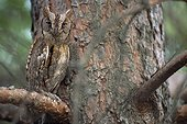 Eastern Screech-Owl on a conifer Hautes-Alpes