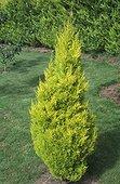 Cyprès de Lambert doré 'Goldcrest' planté dans un jardin