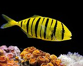 Jeune Carangue royale jaune en aquarium