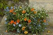 Jardinière Balconnella fleurie au printemps France ; Pensée 'Raviola Orange'. Pensée 'Butterfly Marina'. Myosotis 'Bobo'. Myosotis 'Snosylva'