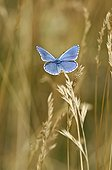 Blued posed on graminaceous in July France