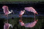 Spatules rosées dans un marais du PN des Everglades USA