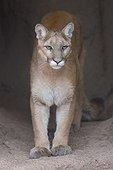 Puma in captivity in Arizona Sonora Deserted Museum