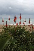 Plant with the red flowers on a beach of the Ibiza island