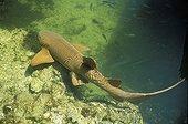 Requin nourrice nageant en Floride USA