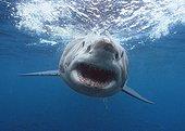 Portrait of a Great White Shark attacking Australia
