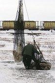 Femelle ours polaire et ses oursons capturés Hudson Bay ; Tranquilisés pour être transportés par hélicoptère. Lieu : prés de Churchill, Nord de Manitoba.