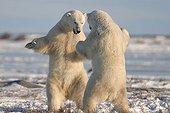 Combat d'ours polaires mâles Hudson Bay ; Lieu : prés de Churchill, Nord de Manitoba.
