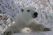 Jeune ours polaire mâle curieux Hudson Bay ; Lieu : prés de Churchill, Nord de Manitoba.