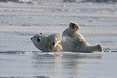 Ours polaire mâle se détendant Hudson Bay ; Lieu : prés de Churchill, Nord de Manitoba.