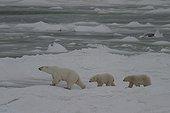 Ours polaire femelle et ses oursons Hudson Bay ; Lieu : prés de Churchill, Nord de Manitoba.