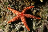 Peppermint sea star Red sea ; Small plates limestones of color creams with yellow.