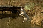 Labrador jumping in water to bring back an object