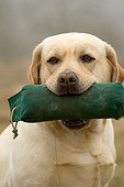 Labrador bringing back an object in the mouth