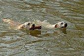 Swimming Labradors bringing back an object