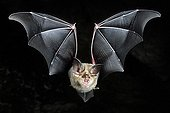 Greater Horseshoe Bat in flight Normandie France