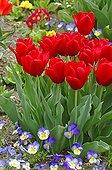 Tulips triomphe 'Oscar'  in spring