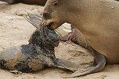 Otarie du Cap tentant de porter son nouveau-né Cape Cross