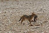 Chacal avec un foetus de Springbok dans la gueule PN Etosha
