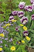 Tulipes 'Arabian Mystery' et Doronic