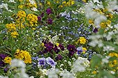 Violas and wallflowers in a massif of flowers France