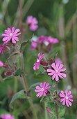 Flowers of Silene Meurthe et Moselle France