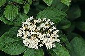 Viorne lantane en fleurs Meurthe et Moselle France