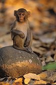 Young Rhesus monkey sitting on a rock Corbett NP ; Photograph winner BBC 2001.