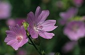 Musk mallow in flower Meurthe and the Moselle