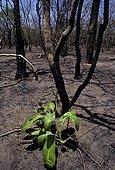 Premières repousses de plantes après les feux de brousse