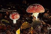 Amanite tue-mouche dans forêt de feuillus Meurthe et Moselle