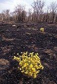 Premières repousses de fleurs après les feux de brousse