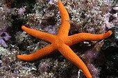 Smooth starfish  Mediterranean Sea