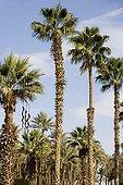 Washingtonia robusta introduces originating in Mexico Egypt