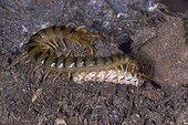 Megarian banded Centripede eating a prey
