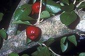 Cerise-pays sur l'arbre Miami USA