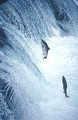 Salmons jumping Katmai NP Alaska USA