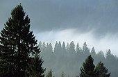 Forêt de conifères et nuages Jura France
