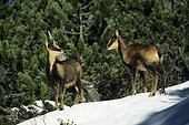 Isards dans la neige Cirque de Gavarnie PN des Pyrénées