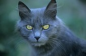 Portrait d'un chat domestique