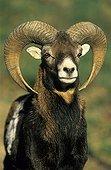 Portrait de Mouflon mâle Alpes France