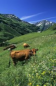 Vaches tarines dans la Vallée de la Tarentaise Savoie