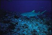 """Requin citron et carangue royale jaune Rangiroa Polynésie ; """"Rangiroa sous le signe du poisson"""" page 78"""